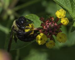 Bee_SAF4732-1 (sara97) Tags: bee flyinginsect insect missouri nature outdoors photobysaraannefinke pollinator saintlouis socialinsect urbanpark copyright2016saraannefinke
