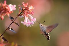Macroglossum stellatarum () Tags: macroglossa macroglossum stellatarum macro esfinge colibr volo flight flying sfinge del galio sphingidae hummingbird moth fiori rosa pink flowers
