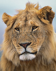 Young Male Lion (Jerry Fornarotto) Tags: africa african animal carnivore cat expression eyes face faceexpression fauna feline fur jerryfornarotto kenya king lion male malelion mammal mane nature piercingeyes portrait predator profile safari stare wild wildlife young younglion