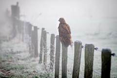 Duivense Broek (Arnold van Wijk) Tags: gelderland duiven nederland netherlands animal bird vogel roofvogel wildlife wild landschap natuur nature polder weiland