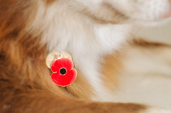 11/12/A tasku - poppy day (sure2talk) Tags: tasku finnishlapphund poppyday armisticeday remembranceday poppy tag memories nikond7000 nikkor50mmf14gafs 12monthsfordogs 12monthsfordogs16 1112a