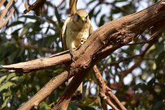 Looking down (Luke6876) Tags: nankeenkestrel kestrel falcon birdofprey raptor bird animal wildlife australianwildlife