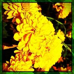 The yellow. #iPhone #iPhonemacro #macro #flower #flowersofinstagram #silverspring #maryland #sundaywalk #urbanhiking (Kindle Girl) Tags: instagramapp square squareformat iphoneography uploaded:by=instagram lofi iphone365 enlightapp enlight iphonemacro maryland silverspring