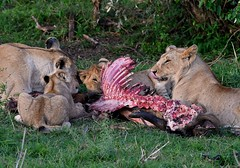 Lions with cubs feast on a freshly killed wildebeest carcass. (One more shot Rog) Tags: lions lioness mane lion pride masaimaralions kill lionkill wildebeest nature eat lunch dinner ribs savannah wildlife bigcats cat cats claws teeth rogersargentwildlifephotography safari samburu onemoreshotrog feasting feast kenyasafari eastafricansafari africanlions africa kenya