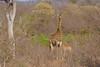 Southern Giraffe with drinking Calf (cirdantravels (Fons Buts)) Tags: giraffe giraf girafe giraffa kruger