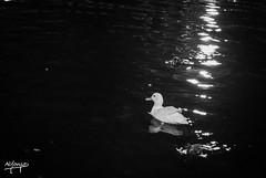 Nadando (okupalopez) Tags: sevilla plazadeespaa nocturnas blancoynegro naturaleza aves patos
