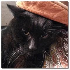 Sirius Black (Cristina Negrini) Tags: gatto nero black cat siriusblack chat noir