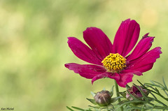 Cosmos (Ken Mickel) Tags: cosmos floral flower flowers plants blossom blossoms bokeh closeup debthoffield flora garden gardens nature photography upclose