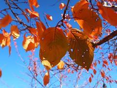 1 of Holy Leaves (Mertonian) Tags: autumn fall lookingup lunchwalk mertonian robertcowlishaw leaves leaf orange holy curvy canon powershot g7x mark ii canonpowershotg7xmarkii nature season3 beauty beautiful wonder awe ineffable sublime bluesky
