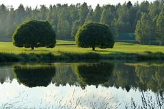 Salix fagilis 'Bullata' (Salicaceae) (Hyvärilä, Nurmes, 20160710) (RainoL) Tags: 2016 201607 20160710 fin finland fz200 geo:lat=6353393417 geo:lon=2919678927 geotagged hyvärilä july nurmes pohjoiskarjala salix salixfagilis salixfagilisbullata summer terijoensalava tree willow cultivar crackwillow plant