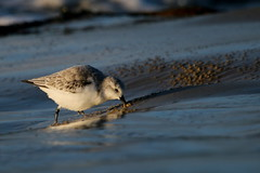 bcasseau sanderling ( Calidris alba ) Erdeven 161109a2 (pap alain) Tags: oiseaux chassiers charadriids bcasseausanderling calidrisalba sanderling erdeven morbihan bretagne france