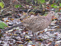 Female Pheasant, Wigan Flashes (stevencarruthers93) Tags: greenheart wigan flashes