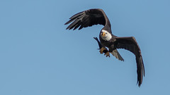 Meal in the Air (Ken Krach Photography) Tags: eagle maryland