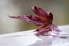 the last leaf down (husiphoto) Tags: herbst blatt ahorn natur leaf nature autumn fall down