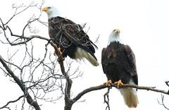 bald eagles at Decorah Fish Hatchery IA 854A2692 (lreis_naturalist) Tags: bald eagle female male decorah fish hatchery winneshiek county iowa larry reis