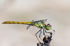 % (tomi1302 www.tomiburcul.com) Tags: canon 7dmarkii eos tamron 90mm dragonfly animal macro closeup insect nature naturallight zadar croatia