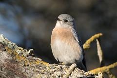 Western Bluebird (Garrett Lau) Tags: guadalupeoakgrovepark westernbluebird birds