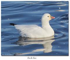 Oie de Ross / Ross's Goose  153A2293 (salmo52) Tags: oiseaux birds salmo52 alaincharette oiedeross rosssgoose chenrossii victoriaville réservoirbeaudet anatidae anatidés