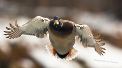 Full Speeding !!! (Photography by Ramin) Tags: mallard male duck flight fly wings ottawa river beauty beautyoffeather canada canadian wildbirds wildlife feather