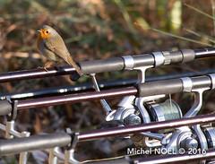 Rougegorge familier Erithacus rubecula - European Robin : Michel NOEL  2016-6805.jpg (Michel NOL 900k + views .Thanks to visits) Tags: rougegorge familier erithacus rubecula european robin