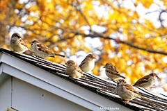 Autumn House Sparrow Convention (--Anne--) Tags: housesparrow sparrow sparrows bird birds nature wildlife animals autumn fall bokeh roof