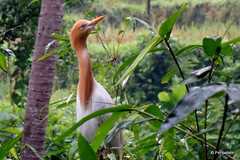 DSC07354 (Peripatete) Tags: bali ubud petulu nature birds travel tourism