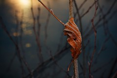 Curled up (frantiekl) Tags: leaf frost sun ice bush light detail bokeh depthoffield nature outdoor autumn cold 50mm dawn