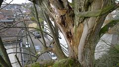 Tilia platyphyllos (arborist.ch) Tags: arborist arboriculture baumpflege baum baumklettern treecare tree treeclimbing tilia