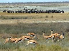 . (me*voil) Tags: namibia etosha herd springbock gnus landscape