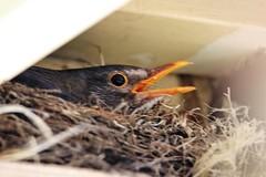IMG_7 Tamron 600mm 3862 (rustyrh52) Tags: bird nesting under verandah