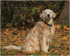 Shelby (Taking pics, and eventually posting them!!!) Tags: canon eos 70d paintshopprox9 pspx9 ontario outdoors canada dog shelby goldenretriever golden autumn autumncolours animal portrait 18135mmstm