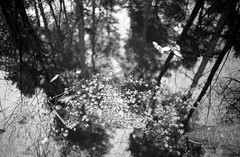 (40Cron) Tags: delamere forrest yashica 35mm electro 35cc ilford ilfosol hp5 monochrome black white winter uk england nature tree reflection
