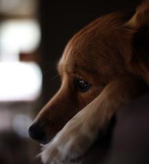 Canon 5dsr--- 1st photo (JoCur89) Tags: eyes sharp focus animal portrait indoors 5dsr canon pets shelter rescue color fur puppy pup dog