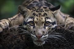 Nebelparder (Söckchen) Tags: nebeparder cloudedleopard katze cat zoo