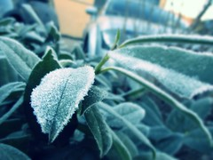 Frosty Leaves (International School of Berne Student Photography) Tags: danielle