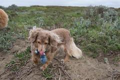 Stella_02_FortFunston_05Dec2016 (JD's Images) Tags: cassara dog fortfunston stella dogwalking
