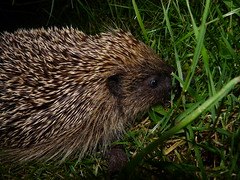 Hedgehog (Bensmailliw) Tags: animal wildlife hedgehog erinaceuseuropaeus