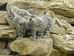 Male snow leopard cubs. Got your ear! (Nicola Williscroft) Tags: zoo feline leopard snowleopard carnivore felid unciauncia panthera twycrosszoo felidae pantherauncia flickrbigcats