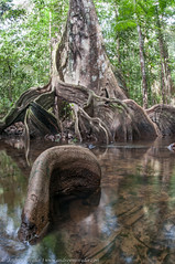 Gnarly (Andrew Snyder Photography) Tags: rainforest roots guyana research jungle gnarly gnarled biodiversity sigma15mm conservationphotography andrewmsnyder moratree moraexcelsa andrewmsnyderphotography