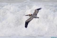 Pelican1060 (mcshots) Tags: ocean california winter sea usa bird beach nature water birds coast losangeles wings waves stock flight feathers pelican socal mcshots southbay swells