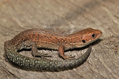 Baby Common lizard (Dragonwings55) Tags: lizards reptiles commonlizard uklizards