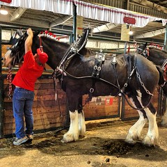 "Gotta stand on tip toe to harness these big boys. #oregonstatefair #horses • <a style=""font-size:0.8em;"" href=""https://www.flickr.com/photos/61640076@N04/9639306381/"" target=""_blank"">View on Flickr</a>"