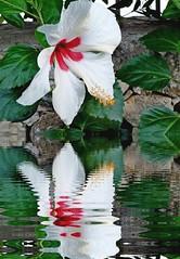 *.Une belle histoire...*   (anton) Tags: sardegna flowers verde foglie hibiscus fourseasons fiore acqua rosso sassari bianco riflesso pistilli anton unebellehistoire canzonefrancese