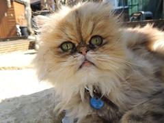 Barny (Sookie's Photography) Tags: cats pets cute animals cat kitten kittens gato persiancats cuteanimals cutepets persiankittens maincoons maincooncats catmoments maincoonkittens