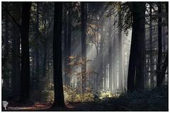 Autumn Moods (hknatuurfoto (Hans Koster)) Tags: autumn sun color nature netherlands forest woods herfst nederland natuur sbb bos moods zon beams uden noordbrabant kleur sfeer staatsbosbeheer theworldwelivein stralen maashorst hknatuurfotografienl hanskoster udenoord