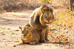 lions mating 3 (Russell Scott Images) Tags: zambiakafuenationalparklionsmating katangalionpantheraleosspbleyenberghi southwestafricanlion russellscottimages