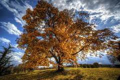 Autumn Maple (It's my whole damn raison d'etre) Tags: county blue autumn orange tree fall alex leaves yellow virginia maple nikon day cloudy farm sunny va springs noon mid hdr loudoun purcellville silcott thechallengefactory erkiletian d800e