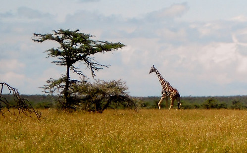 Giraffe, Mutara Ranch