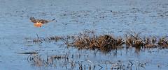 DSC_0010 (dlv1) Tags: nikon hawk hunting newhampshire raptor concord redtailedhawk horseshoepond d5200 nikon18105mm
