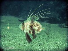 Zeus faber (susanamart) Tags: portugal underwater mergulho scuba scubadiving sesimbra underwaterphotography uwp fotosub zeusfaber peixegalo canonixus80is jardimdasgorgónias setubaldistrict